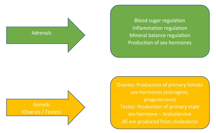 adrenal functions: blood sugar regulation, inflammation regulation, mineral balance regulation, production of sex hormones gonads (ovaries/testes) function: production of female sex hormones (estrogen & progesterone), production of male sex hormones (testerone)