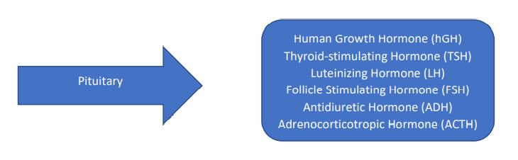 Hormones made in the pituitary: Human growth hormone (hGH), thyroid-stimulating hormone (TSH), luteinizing hormone (LH), Antiduretic Hormone (ADH), adentriocotropic hormone (ACTH)