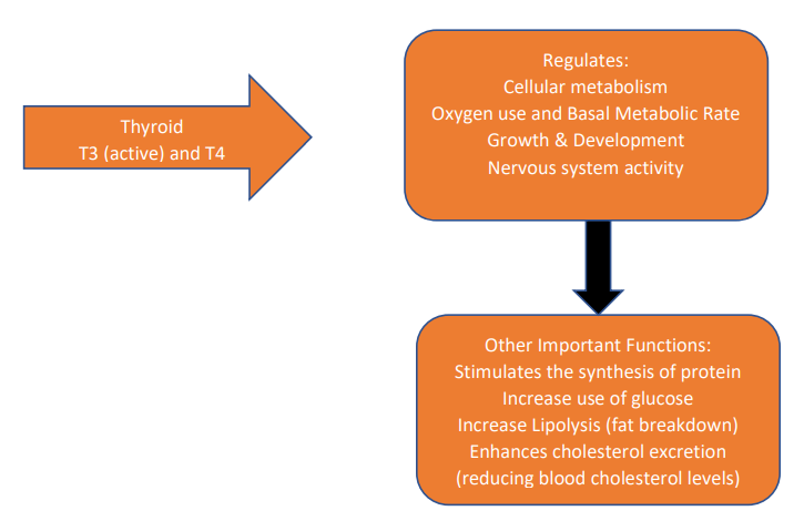 Thyroid function - regulates cellular metabolism, oxygen use and basal metabolic rate, growth and development, nervous system activity, stimulates synthesis of protein, increase use of glucose, increase lipolysis, enhances cholesterol excretion, reducing blood cholesterol levels.